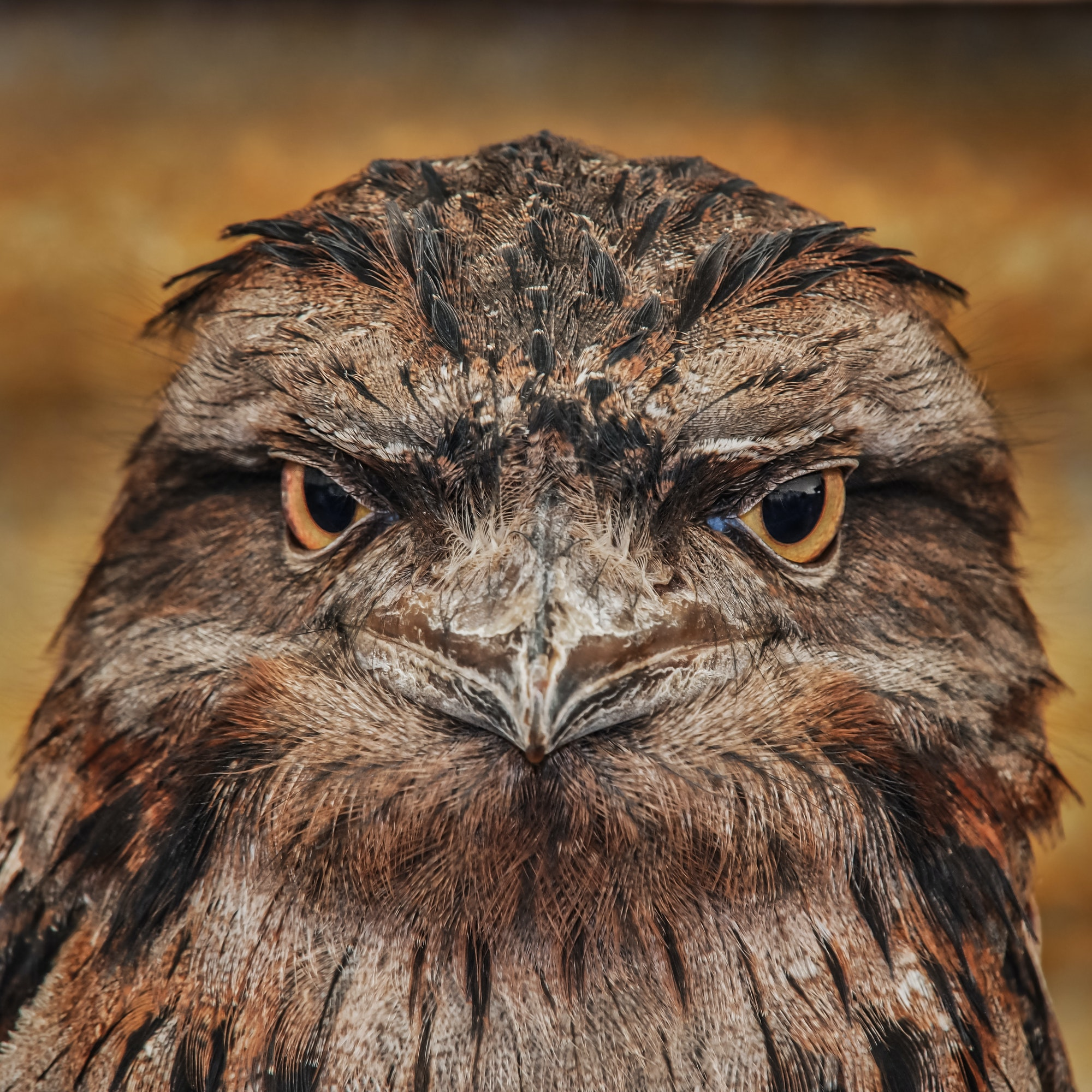This good looking guy is a Tawny Frogmouth, an Australian bird